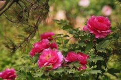 "Peony. Ornamental peony is a perennial deciduous shrub. ""Its cultivation began in the Sui Dynasty, flourishing in the Tang Dynasty and in the Song Dynasty stock photo"