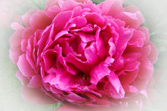 Peony. Ornamental plant with large flowers, the primarily. white, pink or bright red Stock Photo