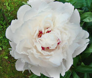 Peony. Ornamental plant with large flowers, the primarily. white, pink or bright red Royalty Free Stock Photo