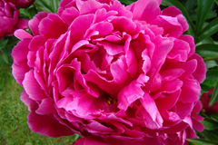 Peony. Ornamental plant with large flowers, the primarily. white, pink or bright red Royalty Free Stock Photos