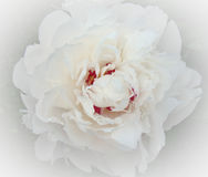 Peony. Ornamental plant with large flowers, the primarily. white, pink or bright red Stock Photography