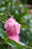 Peony outdoors Stock Images