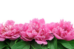 Peony over white background Stock Image