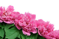 Peony over white background Royalty Free Stock Photography