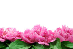 Peony over white background Stock Photo