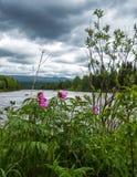 Peony - Paeonia anomala at taiga forest Stock Photography