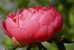 Peony, Paeonia Royalty Free Stock Image