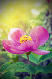 Peony (Paeonia wittmanniana). Forest pion in the sun Stock Photos