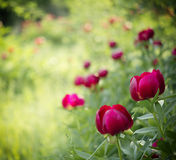 Peony (Paeoniaceae) field in meadow Royalty Free Stock Photos