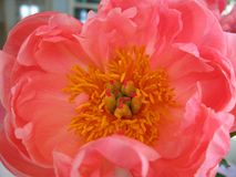 Peony Flower Close Up Royalty Free Stock Photos