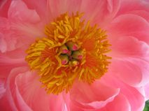 Peony Flower Close Up Royalty Free Stock Photography