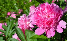 The peony or paeony is a flowering plant in the genus Paeonia. The peony is a flowering plant in the genus Paeonia royalty free stock images