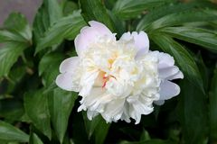 Peony or Paeony large white flower with thick green leaves. Peony or Paeony large white flower surrounded with thick green leaves in local garden on warm sunny royalty free stock image