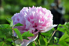 The Peony Royalty Free Stock Photo