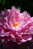 Peony. Close-up. The macroplan  in the early morning Stock Image