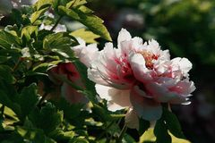 Peony. Is native to the mountainous area of Qinling Mountains and Dabashan in the west of China. There are wild Single Leaf Varieties in this area. Deciduous royalty free stock image