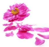 Peony and petals Royalty Free Stock Image