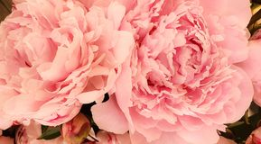 Peony petals blossom flowers beautiful royalty free stock photos