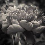 Peony petals close up Royalty Free Stock Images