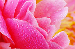Peony petals Royalty Free Stock Images