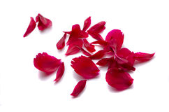 Peony petals on white background Stock Images