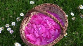 Peony petals in wicker basket in meadow stock video footage