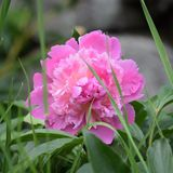 Peony. Pink Peony in Stock Images