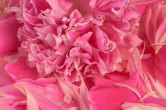 Peony pink background Stock Image