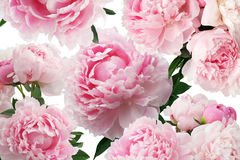 Peony pink flowers on white background. Floral pattern. Peony pink flowers on white background. Pattern stock photo