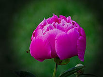 Peony Pink. In the Garden Stock Photo