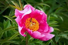 Peony plant with pink flower and green leaves Royalty Free Stock Photography