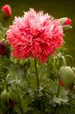 Peony Poppy Royalty Free Stock Photography