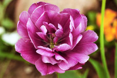 Peony purple tulip on a green background. Tulip with streaks on leaves. Stock Image