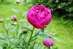 Peony with rain drops Stock Images