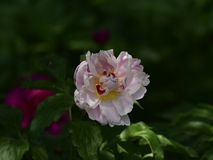 Paeonia lactiflora scientific name: Paeonia lactiflora Pall., prime minister in flowers. Peony is rich in color, with white, pink, red, purple, yellow, green royalty free stock photography