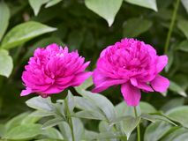 Paeonia lactiflora scientific name: Paeonia lactiflora Pall., prime minister in flowers. Peony is rich in color, with white, pink, red, purple, yellow, green royalty free stock images