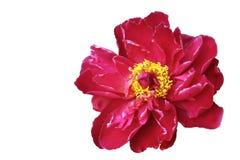 Peony rojo Foto de archivo libre de regalías