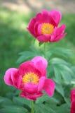 Peony rosado Foto de archivo