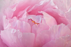 Peony rosado Imagen de archivo