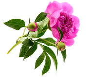 Peony rosado Imagenes de archivo