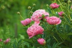 Peony rosado Foto de archivo libre de regalías