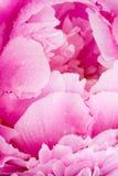 Peony rosado Fotos de archivo
