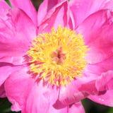 Peony rosado del jardín (peony chino) Fotos de archivo libres de regalías