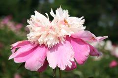 Peony rosado y blanco del jardín (peony chino) Imagen de archivo