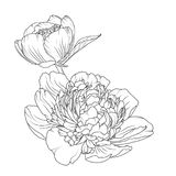 Peony rose flowers isolated black white sketch. Peony rose blooming garden flowers detailed outline sketch drawing. Botanical vector design illustration. Black stock illustration