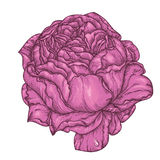 Peony or rose flower in victorian etching style. Tattoo, Boho print, poster, t-shirt. textiles. Highly detailed. Hand-drawn, retro card design. Isolated vector Stock Photos