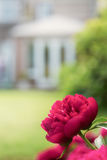 Peony rose growing in a garden Royalty Free Stock Images