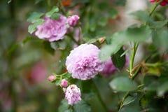 Peony- rose Rosa `Pat Austin`, Shrub stock photo