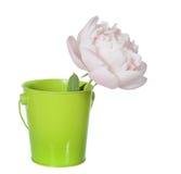 Peony. Single light pink peony with pail isolate on white stock photos