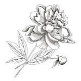 Peony.Sketch черно-белое Стоковая Фотография